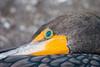 Cormorant close-up