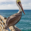 Pelican on the Pier, Oceanside, CA.