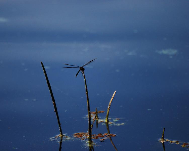 Black Dragonfly II