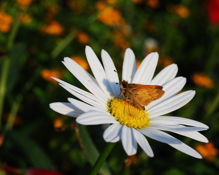 Butterfly Daisy