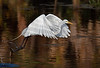 "Egret in Flight<br /> <br /> 20""x26"" Framed signed archival print<br /> $275"
