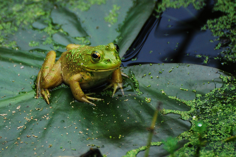 I took this picture of a Bullfrog on a trip with my Daughter to Ijams Nature Center. I plan to return soon. I had to use a telephoto lens since the frogs did not want to let us get very close.