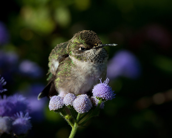 Hummingbird Dont Fly Away, Fly Away