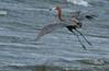 Reddish Egret, Bolivar Peninsula, Texas