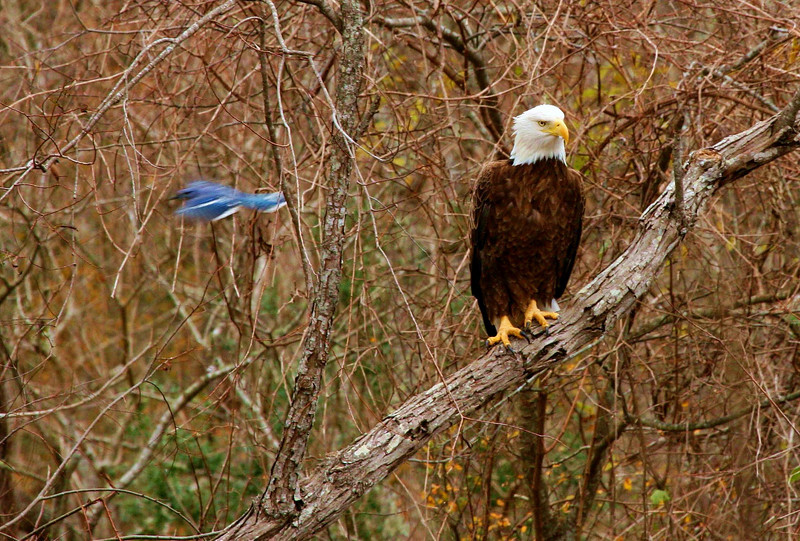 Blue Jay buzzes a Bald Eagle at Brazos Bend State Park. Photo taken from about 50 yards away.