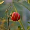 A tomato...