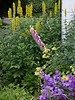Yellow Carolina Lupin, Foxglove, Thalictrum, and Campanula Persicafolia in a friend's garden.