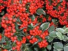 Pyracantha berries up close with some Variegated Myrtle leaves.