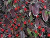 "Dogwood leaves in the fall of 2002 with a healthy crop of  ""berries."""