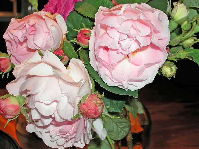 More old roses - Constance Spry, a huge bush - like a climber. These were picked and in a vase.