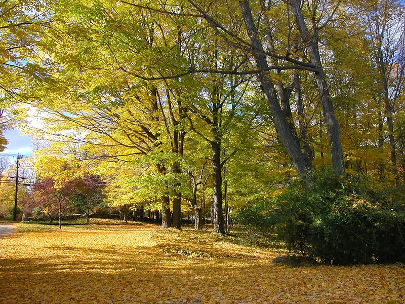 The ground clothed in golden leaves. Every fall is different and there has not been a really colorful fall here in Connecticut for several years.