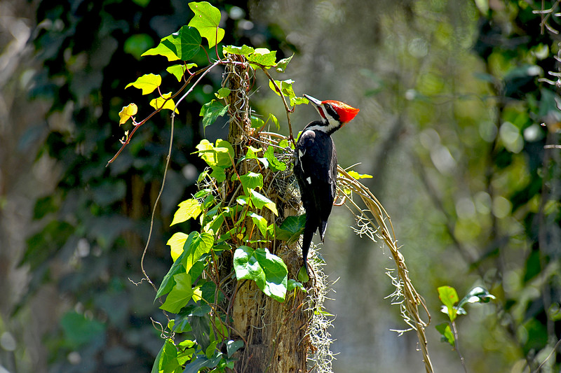 Pileated Woodpecker 309 RR 03-30-10