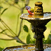 Painted Bunting in Fountain 05-01-10
