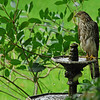 Red Tailed Hawk on fountain at 309 RR in Brunswick, Georgia - Glynn County 06-21-11