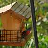 Painted Bunting at 309 RR in Brunswick, Georgia - Glynn County 04-19-11