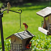 House Finch at 309 RR Brunswick, Georgia 06-18-12