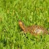 Box Turtle in yard at 309 RR, Brunswick, Georgia 06-13-12