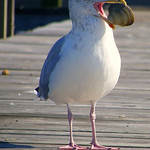Sea Life : Nature on the Bay, Inlet  & Long Island Sound, swans, cormorants, ducks, sea gulls, egrets, and more!