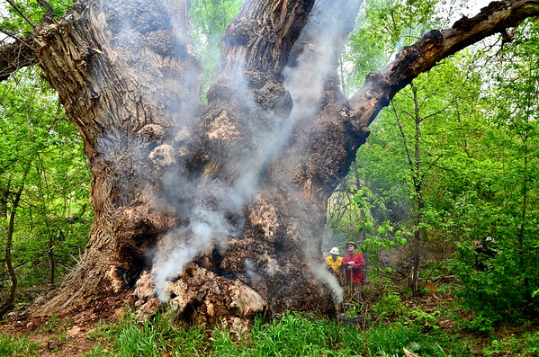 The Champion Cottonwood after it caught on fire - 2012