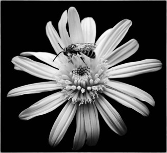 Metallic Green Bee Agapostemon  08 14 10  015 - Edit CS4 - Edit-3