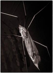 Tiger Crane Fly female  06 17 09  001 - Edit - Edit-2 - Edit