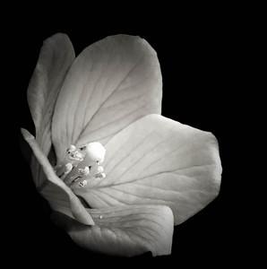 Floating Water-primrose  08 06 09  013 - Edit