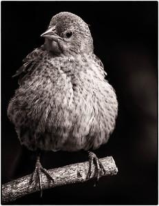 Brown-headed Cowbird  08 23 08  075 - Edit-2