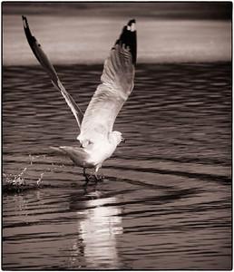 Ring-billed Gull  03 05 09  168 - Edit-2
