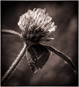 Red Clover Portrait