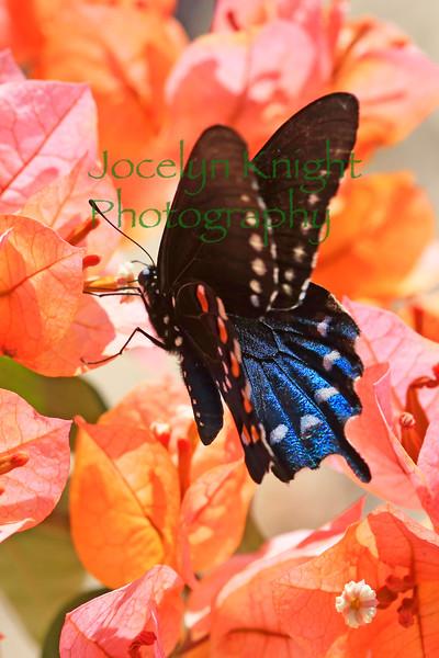 Swallowtail(8x12)7976