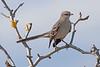 Mockingbird3884