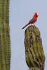 Cardinal3607