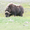 Musk Ox north of Fairbanks