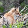 Red Fox hunting in Denali