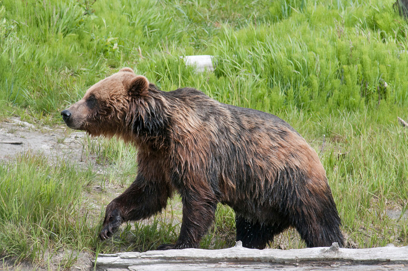 Grizzly Bear<br /> We went on a private Grizzly Tourwith a native Tingit'
