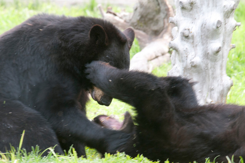 Black Bear yearlings playing near Steward, Alaska