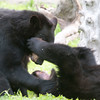 Black Bear yearlings playing near Steward, Alaska