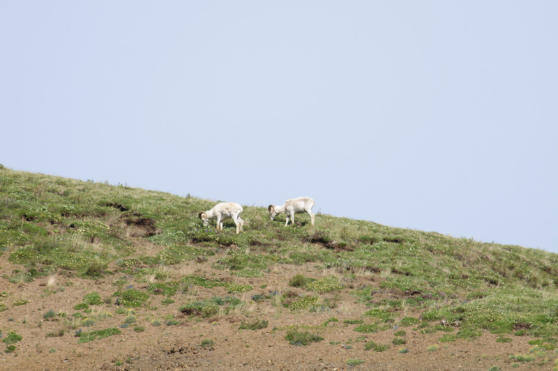 Dall Sheep in Denali from a long distance.  Photo is heavily cropped.