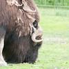Musk Ox north of Fairbanks