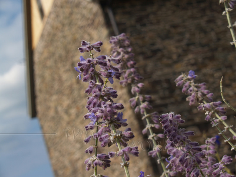 Lavender with old barn