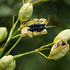 a type of Chinese ornamental lily... gone to seed in Sept.