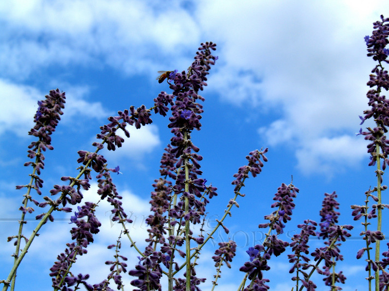 Lavender to the sky