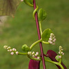 Purple Hyacinth Bean vine  -- Lablab purpureus