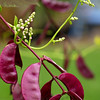 Scarlet Runner Beans with Buds