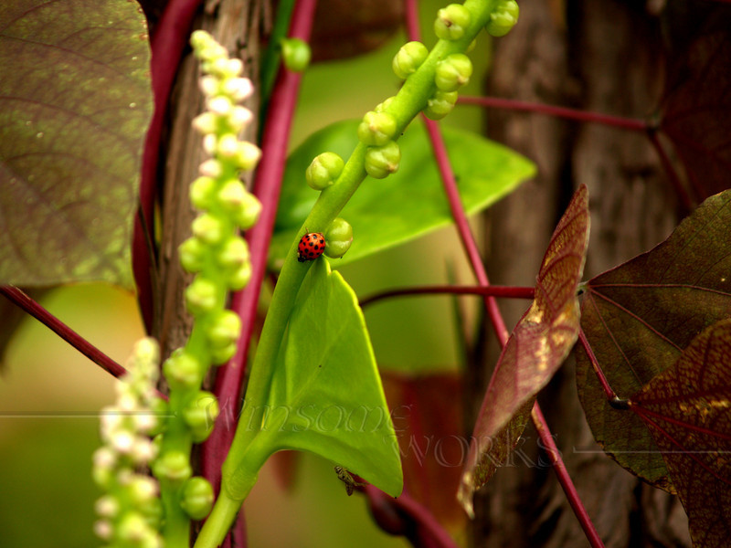 Ladybug on Scarlet Runner Bean