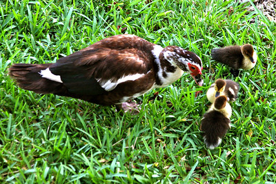 I took this photo of a muscovy duck mom and her babies  (as well as the next five) while trying out my telephoto lens. I shot these from my balcony.