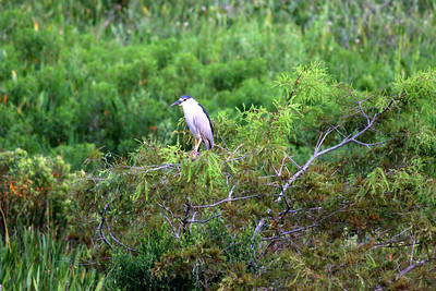 A black-crowned night heron hangs out in the nature preserve behind my place.