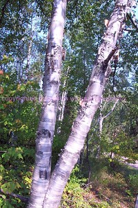 treesatgooseberryfalls,9,003