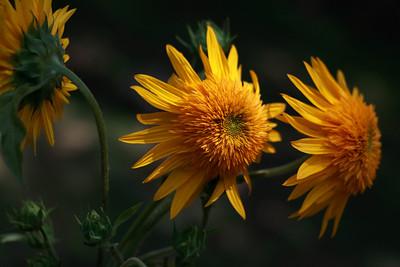 3 sunflowers 2