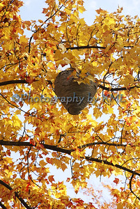 a bee hive in an tree with autumn leaves